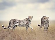 凶猛的非洲猎豹图片欣赏