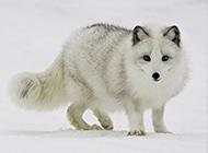 雪地里可爱的北极狼高清图片