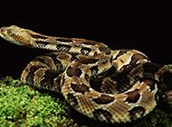 剧毒猎手非洲响尾蛇高清图片