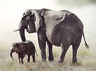 草原上可爱的大象图片
