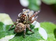 绿叶上的可爱跳蛛图片