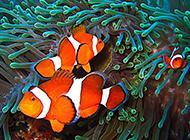 大洋海底遨游的小丑鱼图片欣赏