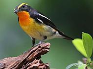小型观赏鸟类黄眉姬鹟图片