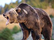 体形健硕的澳大利亚棕熊图片