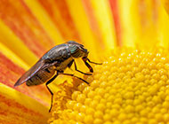 吸食花粉的黑身果蝇图片