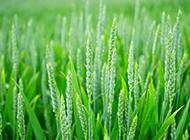 绿色的麦穗小清新背景图片