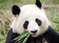 可爱的国宝大熊猫图片