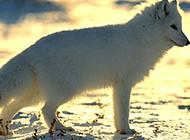优雅漂亮的北极狐高清摄影图片