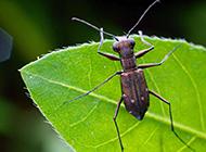 可爱的虎甲昆虫图片