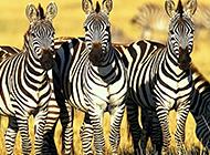 野生非洲斑马高清图片欣赏