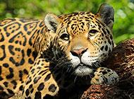 超霸气的猎豹高清图片