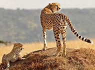 大型猫科动物豹子高清壁纸