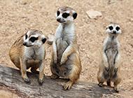 可爱的小型哺乳动物狐獴图片