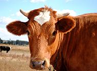 草原上的大黄牛高清图片