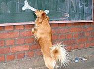 小狗搞笑图之画骨头充饥