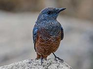 中等体型的蓝矶鸫母鸟图片