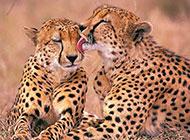 野生动物豹子高清图片欣赏