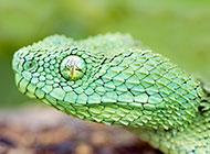 野外最恐怖的蛇高清图片