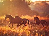 夕阳下奔腾的骏马图片欣赏