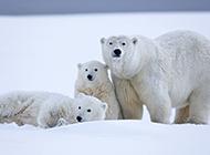 雪原上的北极熊高清大图欣赏