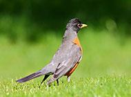 黑喉红尾鸲鸟类高清大图