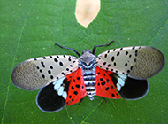 常见的昆虫斑衣蜡蝉图片