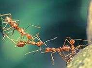 团结的蚂蚁高清图片欣赏