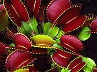 世界十大奇特植物之一捕蝇草图片