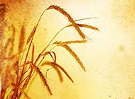 金灿灿的麦穗高清摄影图片