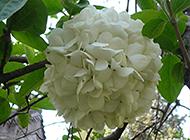 扬州市花木绣球高清植物图片