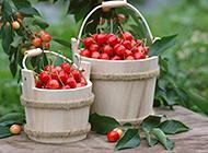 新鲜采摘的樱桃图片素材