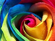 梦幻般美丽的五彩玫瑰图片