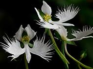 稀奇罕见的植物白鹭花图片欣赏
