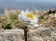 我国西藏天山雪莲植物图片