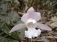 四川的珍贵保护植物独花兰图片