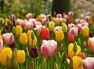 色彩斑斓的唯美郁金香高清图片