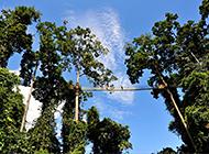 我国稀有植物望天树高清图片