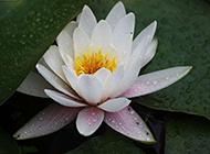 美丽的白莲花图片摄影集