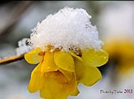 盛开于冬天的腊梅植物图片