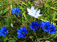 唯美典雅的蓝色植物龙胆图片