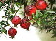 树枝上挂的红色石榴图片