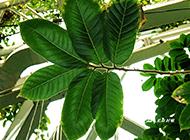 世界上毒性最大的植物箭毒木图片
