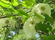 我国珍贵的稀有植物珙桐图片