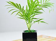 室内盆栽袖珍椰子植物图片欣赏