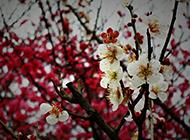 娇而不艳的梅花盛开图片欣赏