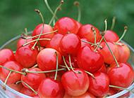 补血养颜的樱桃高清图片