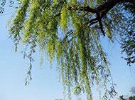 春天的柳树摄影图片