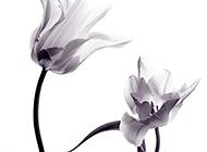 黑白水墨郁金香艺术画图片欣赏