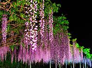 往下垂的唯美植物紫藤图片欣赏