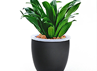 室内盆景青叶太阳神植物图片